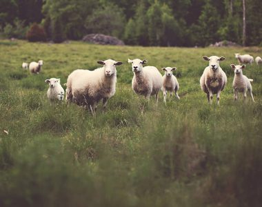 Sheeps and Grass